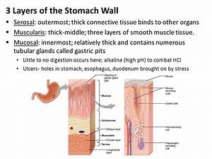 Schematic diagram google translate gallery how to guide and refrence stomach diagram tissues gallery how to guide and refrence ccuart Images