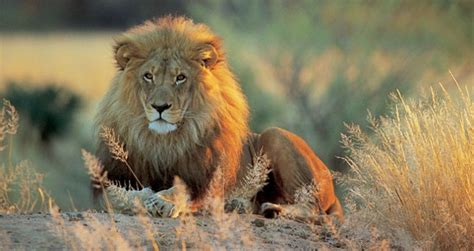 Through Golden Eyes Lions Tigers Bears Lawmaker