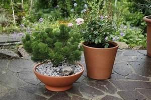 immergrune zwerggeholze als kubelpflanzen mein schoner With französischer balkon mit immergrüne büsche für den garten
