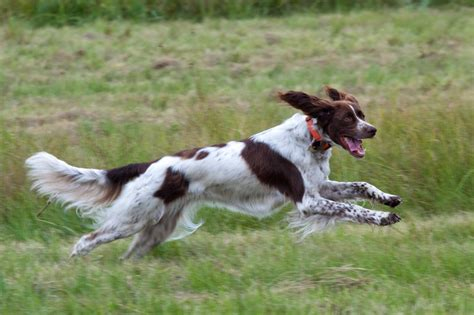 Pointing Dog Blog: Breed of the Week: The French Spaniel
