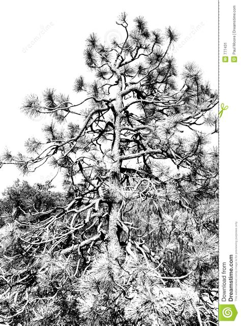 Pine Tree Monochrome
