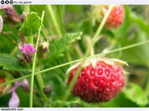 fragole in vaso coltivazione coltivazione fragole