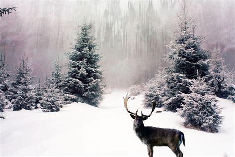 Reindeer Wallpaper Hd by Reindeers Wallpapers Wallpaper Cave