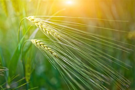 Dust off your old recipe file and share your favorite recipes by clicking on the add recipe link at the top of each page. A Brief History of Barley | Flouracademy