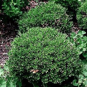 Buxus microphylla 'Wintergreen' WINTERGREEN BOXWOOD from ...