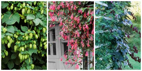growing vines 10 fast growing flowering vines best wall climbing vines to plant