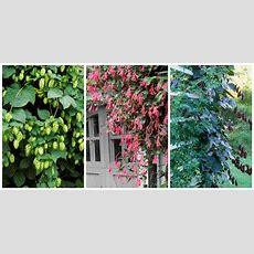 10 Fast Growing Flowering Vines  Best Wall Climbing Vines