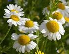 John Grimshaw's Garden Diary: Cornfield annuals