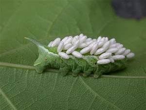 Tomato Hornworm | VegEdge