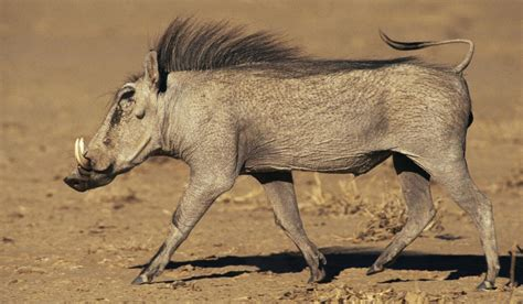 Mind-boggling Facts About Warthogs You Should Read