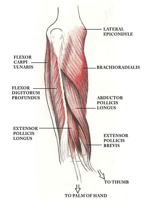 muscles   arm    biceps brachii   innervation muscular anatomy