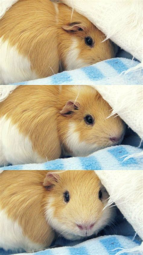 Pin On Guinea Pig Facts