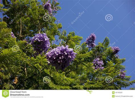 california tree with purple flowers blue jacaranda southern california stock photo image 44745223