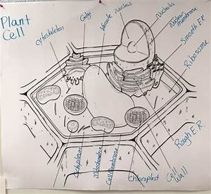 Plant Cell Diagram Labeled