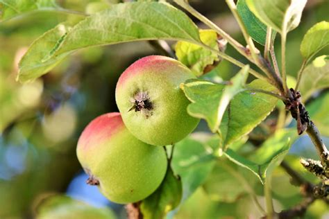 16 Hardy Apple Trees for Zone 2 & 3 | Fruit tree garden ...