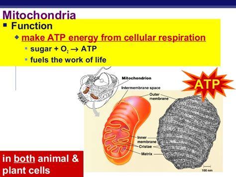 chloroplast  mitochondria