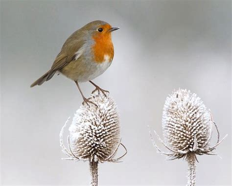 robin in winter birds i want to paint pinterest