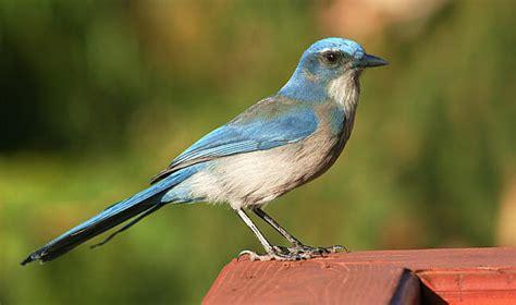 utah blue jays