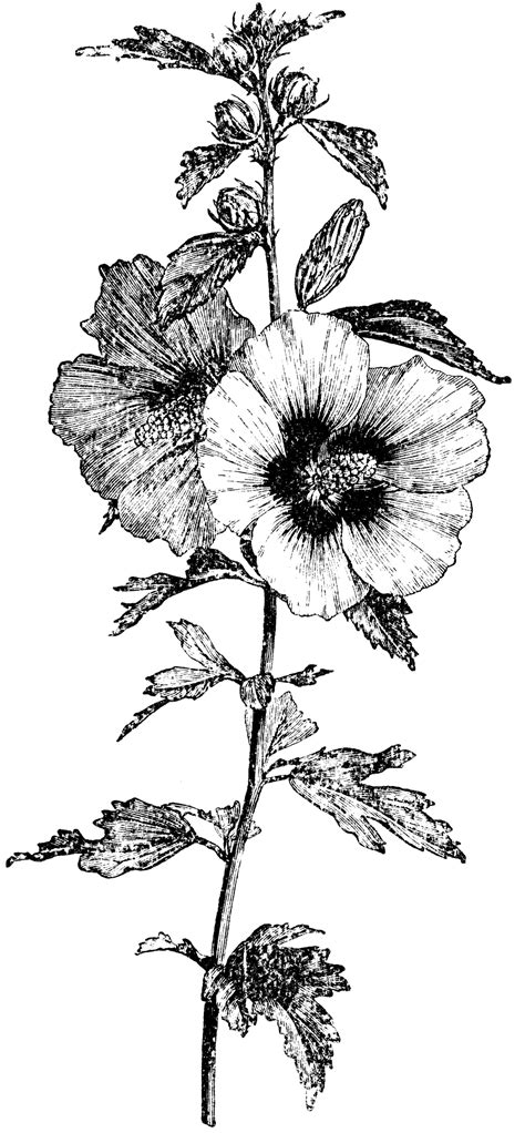flowering branch  hibiscus syriacus clipart