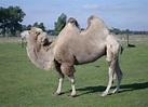 File:Camelus-bactrianus.jpg - Wikimedia Commons