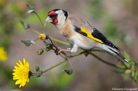 Gabbia Cardellino Uccelli 1 By Saverio69 Juzaphoto