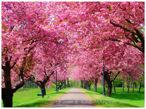 trees in bloom tree in bloom spring hd wallpaper nature wallpapers