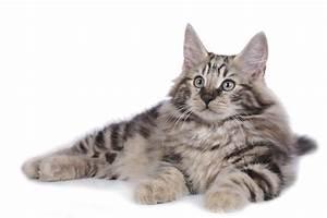 Norwegian Forest Cats | FallinPets