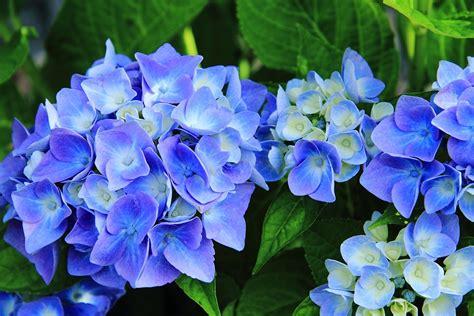 come curare l ortensia in vaso ortensia come coltivarla in vaso o in giardino per una