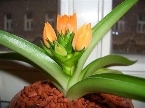 Zimmerpflanze Orange Blüte by Orange Bl 252 Ten Mitten Im November Foto Bild Pflanzen