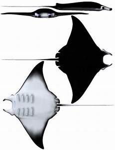 Atlantic Devil Ray Diagram