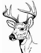 Deer Coloring Pages Hunting Buck Head Adults Drawing Print Male Bucks Sharp Hartshorn Sun Printable Looking Clipartbest Tailed Baby Clipart sketch template