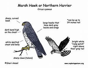 Hawk  Marsh
