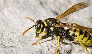 Was Tun Gegen Wespen Im Kirschlorbeer : wespen was tun gegen wespen plage tipps gegen die ~ Lizthompson.info Haus und Dekorationen