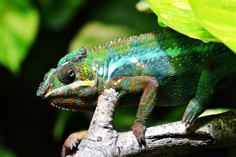 free photo chameleon lizard multi coloured free image