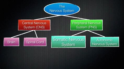 divisions   nervous system youtube
