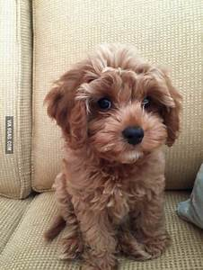 Scarlett, a King Charles Cavalier Spaniel and Poodle mix ...