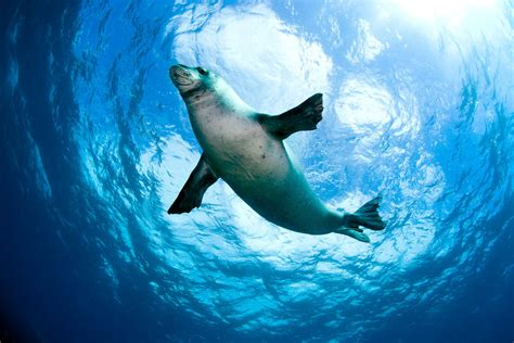 Sea Animals Wallpapers Free - hawaiian monk seal sea animal wallpaper dreamlovewallpapers