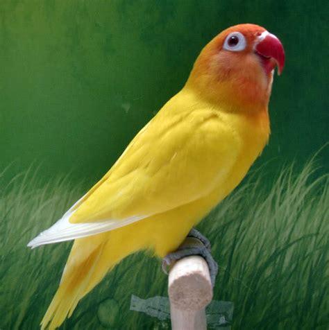 Harga Burung Love Bird