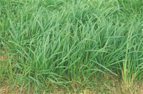 forage   month orchardgrass integrated crop