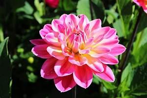 Pflanzen Im Juli : dahlien im mai pflanzen und pflegen ~ Orissabook.com Haus und Dekorationen