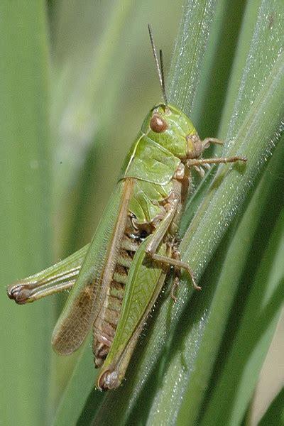 omocestus viridulus wikipedia