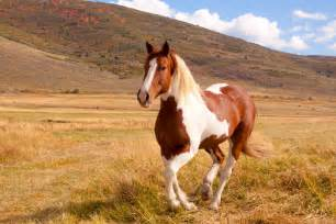 Pinto Horse Color