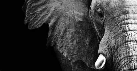 black  white elephant canvas art print  redfoxtaildesigns  handmade pinterest