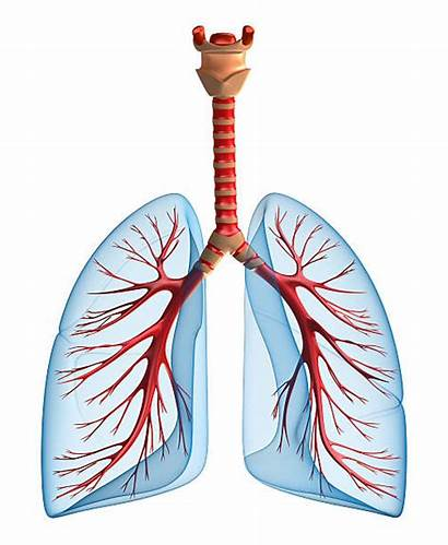 System Lungs Pulmonary Lung Respiratory Breathing Clipart
