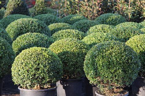 Cespugli Da Terrazzo by Arbusti E Piante Da Vaso E Da Giardino In Vivaio A