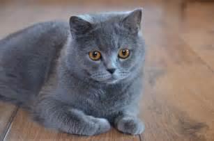 shorthair cat for shorthair