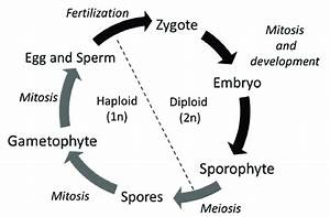 1 Plant Life Cycle Shows An Alternation Of Haploid And