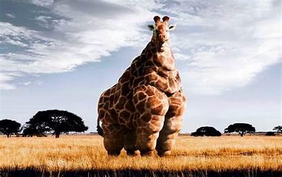 Giraffe Desktop Funny Backgrounds Fat Wallpapers Cool