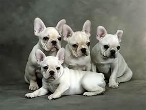 French bulldog puppies, French bulldog puppies breeders ...
