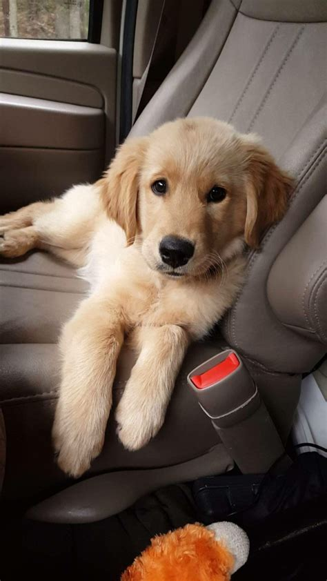Pin By Julie Ross On Cute Dogs Pinterest Perros Golden